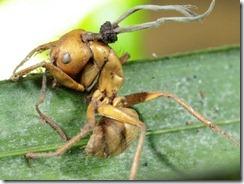 hormiga-zombie